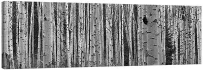 Aspen Trees in Black & White, Alberta, Canada Canvas Art Print