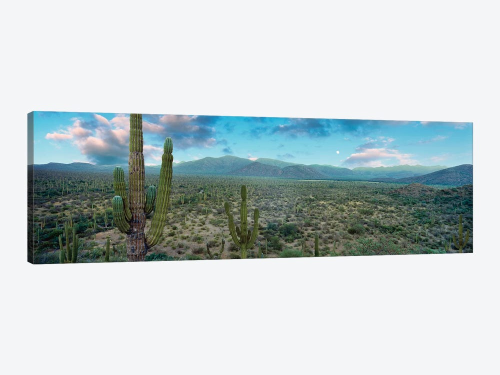 Elephant Cactus (Cardon), Mulege, Baja California Sur, Mexico by Panoramic Images 1-piece Canvas Artwork