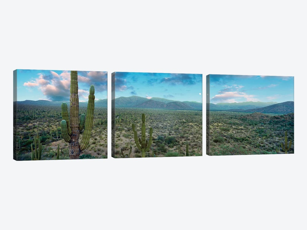 Elephant Cactus (Cardon), Mulege, Baja California Sur, Mexico by Panoramic Images 3-piece Canvas Art