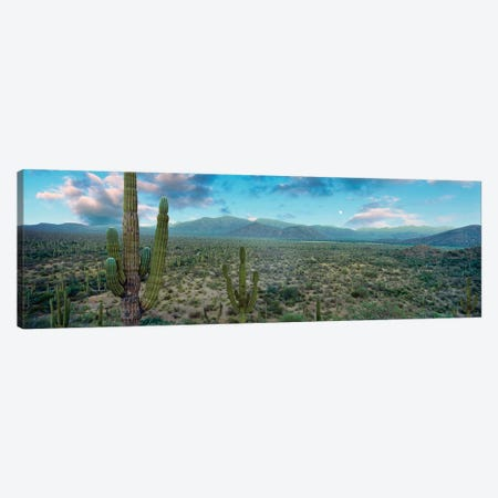 Elephant Cactus (Cardon), Mulege, Baja California Sur, Mexico Canvas Print #PIM14201} by Panoramic Images Canvas Art Print