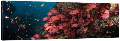 Schooling Blotcheye Soldierfish, Sodwana Bay, KwaZulu-Natal Province, South Africa Canvas Art Print