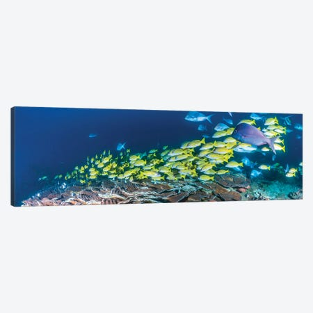 Schooling Bluestripe Snappers, Sodwana Bay, KwaZulu-Natal Province, South Africa Canvas Print #PIM14219} by Panoramic Images Canvas Artwork