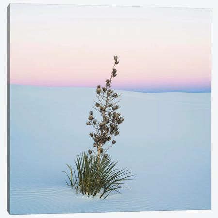 Soaptree Yucca II, White Sands National Monument, New Mexico, USA Canvas Print #PIM14222} by Panoramic Images Art Print