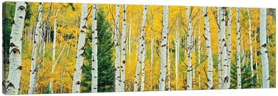 Aspen Grove, Granite Canyon Trail, Grand Teton National Park, Jackson Hole Valley, Teton County, Wyoming, USA Canvas Art Print