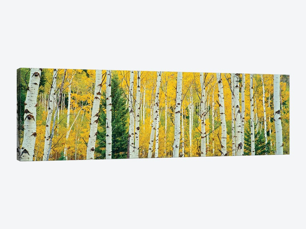Aspen Grove, Granite Canyon Trail, Grand Teton National Park, Jackson Hole Valley, Teton County, Wyoming, USA by Panoramic Images 1-piece Canvas Artwork