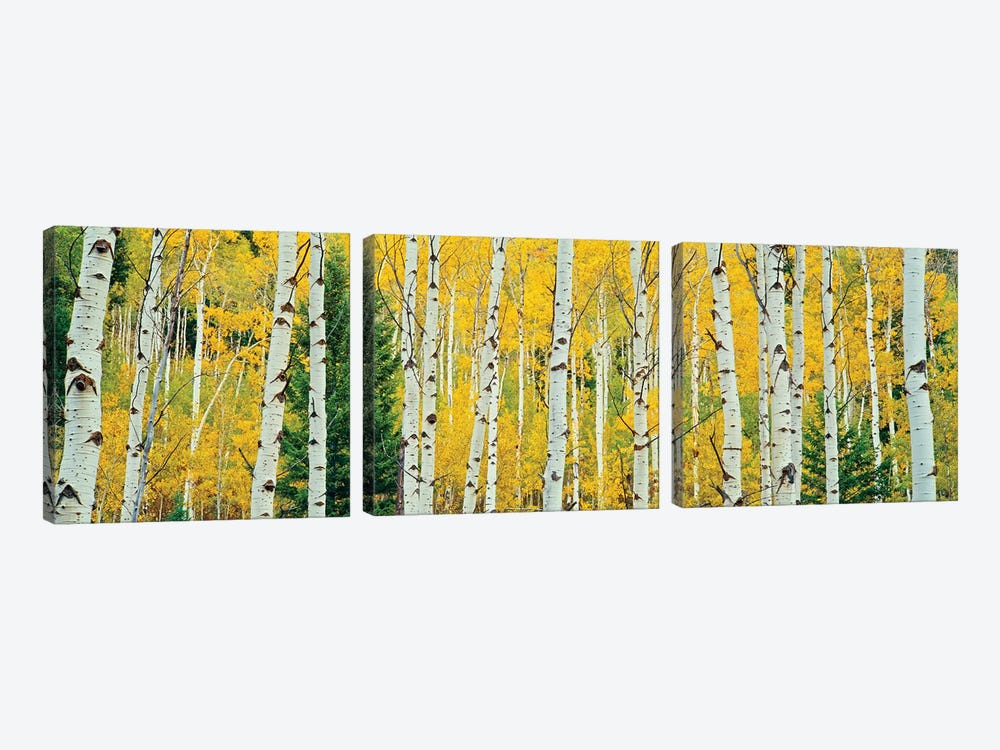 Aspen Grove, Granite Canyon Trail, Grand Teton National Park, Jackson Hole Valley, Teton County, Wyoming, USA by Panoramic Images 3-piece Canvas Artwork