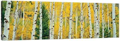 Aspen Grove, Granite Canyon Trail, Grand Teton National Park, Jackson Hole Valley, Teton County, Wyoming, USA Canvas Art Print