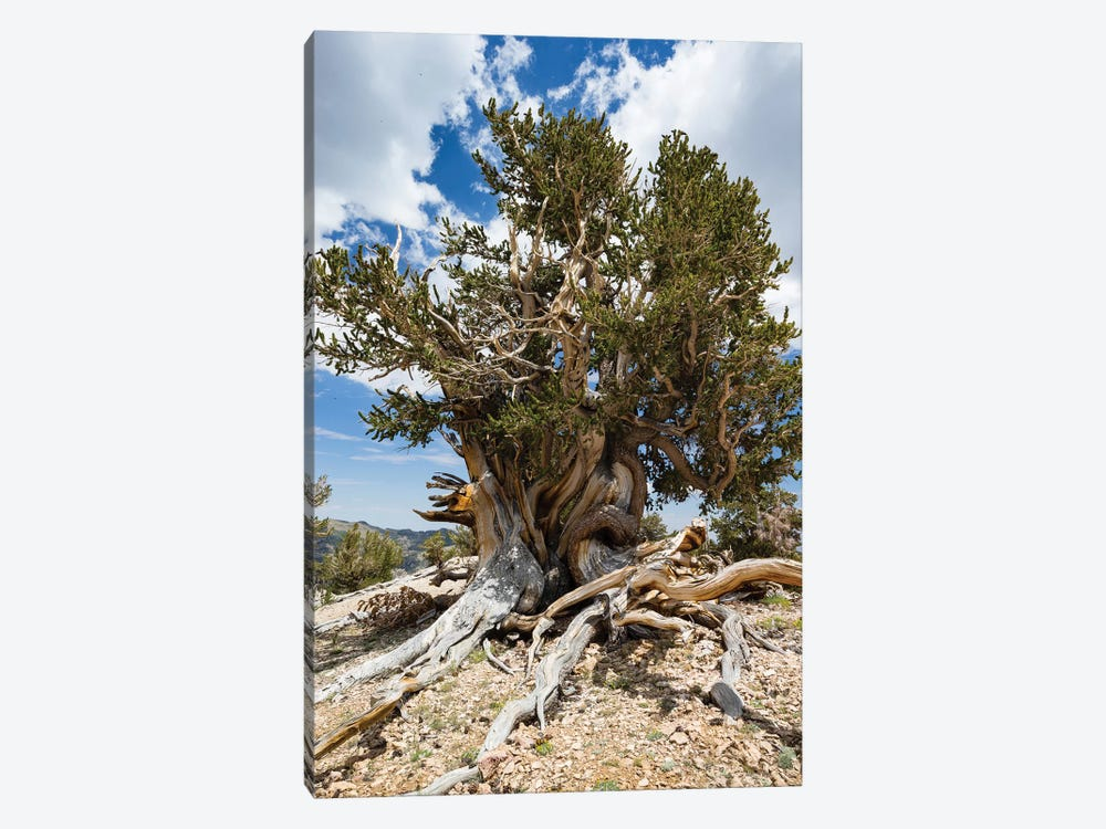 Ancient Bristlecone Pine Forest, White Mountains, Inyo County, California, USA I by Panoramic Images 1-piece Canvas Artwork