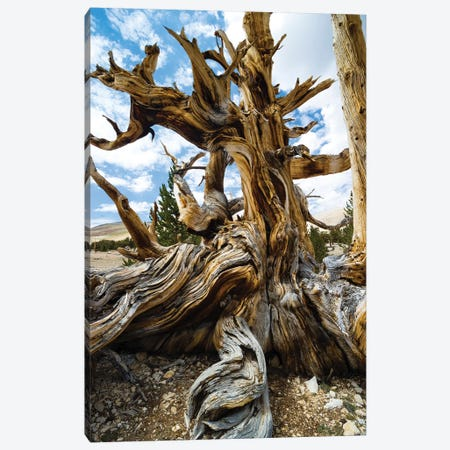 Ancient Bristlecone Pine Forest, White Mountains, Inyo County, California, USA II Canvas Print #PIM14248} by Panoramic Images Canvas Print