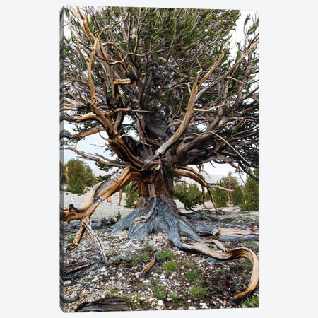 Ancient Bristlecone Pine Forest, White Mountains, Inyo County, California, USA III Canvas Print #PIM14249} by Panoramic Images Art Print