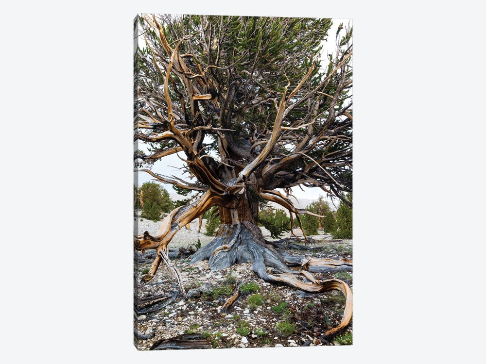Ancient Bristlecone Pine Forest, White Mountains, Inyo County, California, USA III by Panoramic Images 1-piece Canvas Wall Art