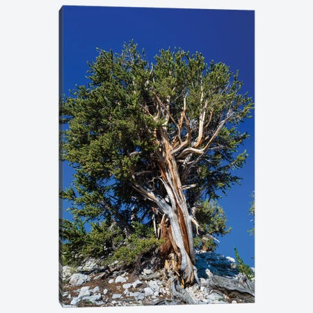 Ancient Bristlecone Pine Forest, White Mountains, Inyo County, California, USA IV Canvas Print #PIM14250} by Panoramic Images Canvas Wall Art