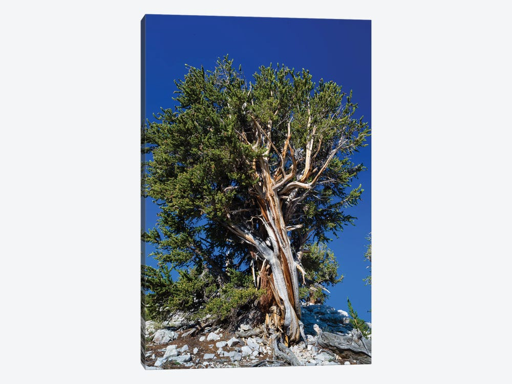 Ancient Bristlecone Pine Forest, White Mountains, Inyo County, California, USA IV by Panoramic Images 1-piece Canvas Art
