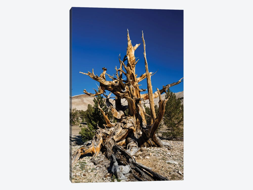 Ancient Bristlecone Pine Forest, White Mountains, Inyo County, California, USA V by Panoramic Images 1-piece Art Print