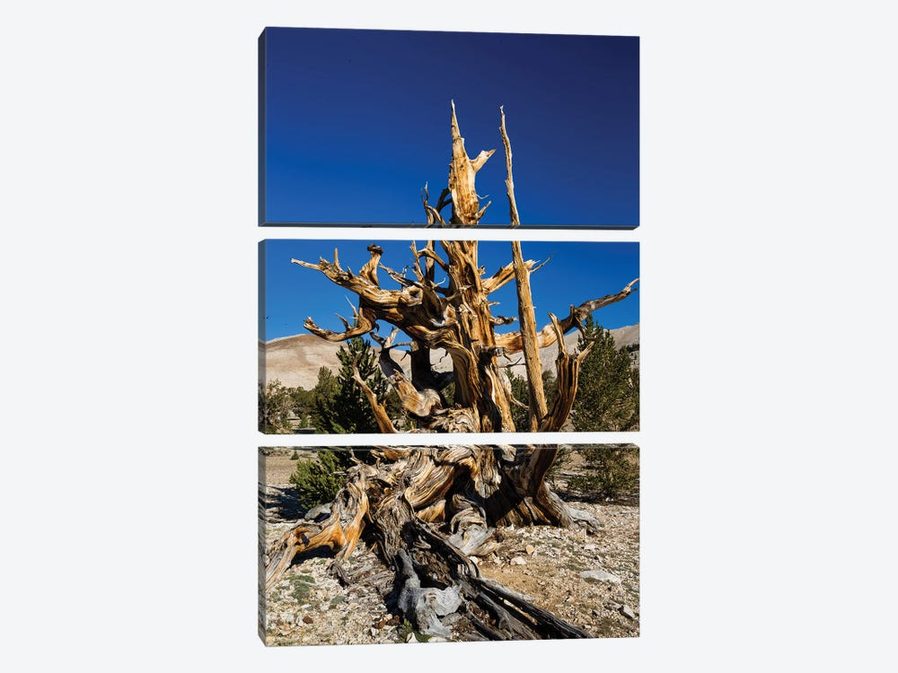 Ancient Bristlecone Pine Forest, White Mountains, Inyo County, California, USA V by Panoramic Images 3-piece Art Print
