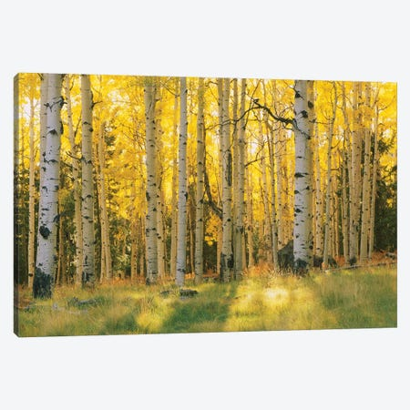 Aspen Trees In A Forest, Coconino National Forest, Arizona, USA Canvas Print #PIM14255} by Panoramic Images Art Print