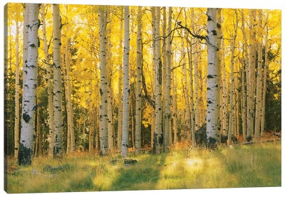 Aspen Trees In A Forest, Coconino National Forest, Arizona, USA Canvas Art Print