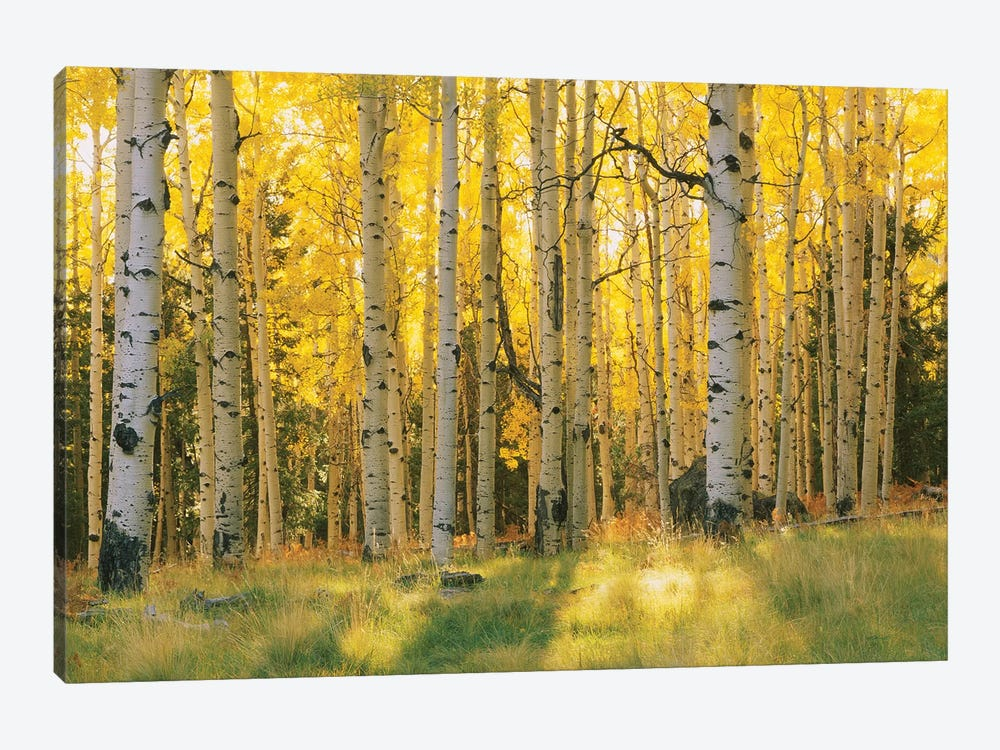 Aspen Trees In A Forest, Coconino National Forest, Arizona, USA by Panoramic Images 1-piece Art Print