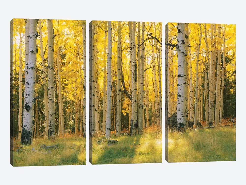 Aspen Trees In A Forest, Coconino National Forest, Arizona, USA by Panoramic Images 3-piece Canvas Print