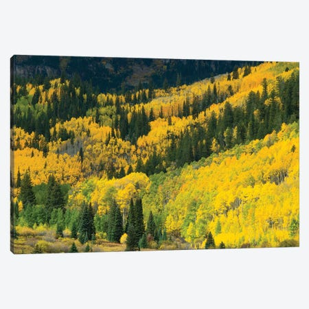 Aspen Trees In A Forest, Maroon Bells, Maroon Creek Valley, Aspen, Pitkin County, Colorado, USA I Canvas Print #PIM14256} by Panoramic Images Canvas Art Print
