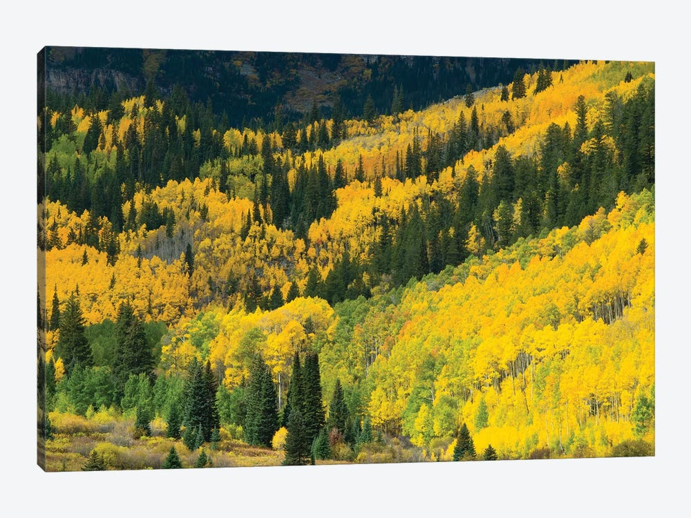 Aspen Trees In A Forest, Maroon Bells, Maroon Creek Valley, Aspen, Pitkin County, Colorado, USA I by Panoramic Images 1-piece Canvas Artwork