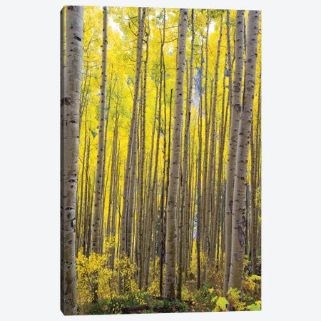 Aspen Trees In A Forest, Maroon Bells, Maroon Creek Valley, Aspen, Pitkin County, Colorado, USA II Canvas Print #PIM14257} by Panoramic Images Canvas Art Print
