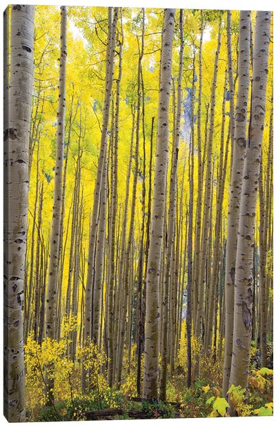 Aspen Trees In A Forest, Maroon Bells, Maroon Creek Valley, Aspen, Pitkin County, Colorado, USA II Canvas Art Print