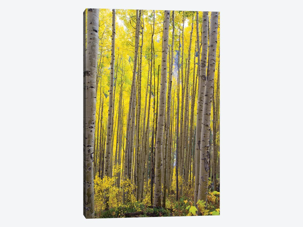 Aspen Trees In A Forest, Maroon Bells, Maroon Creek Valley, Aspen, Pitkin County, Colorado, USA II by Panoramic Images 1-piece Canvas Art Print