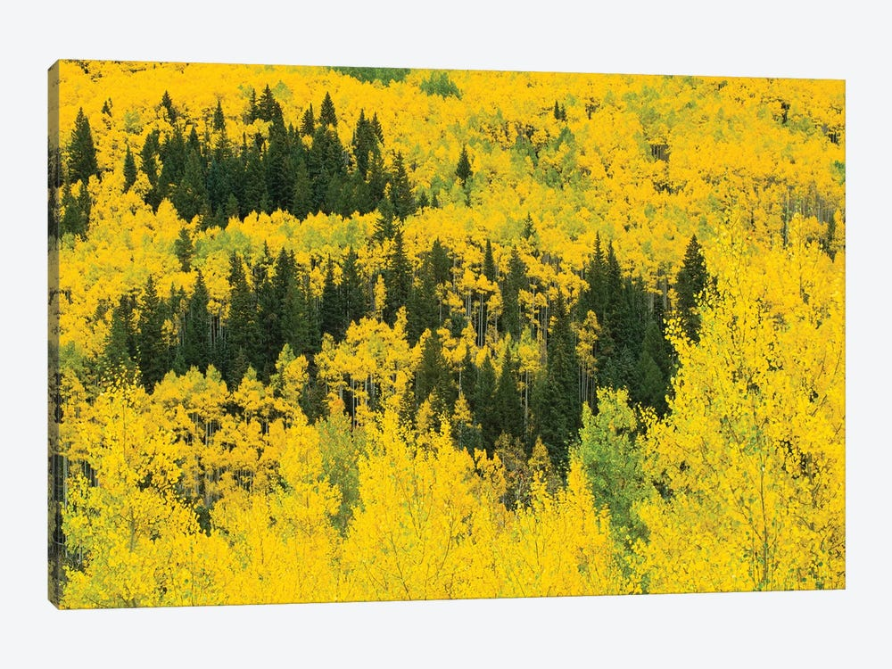 Aspen Trees In A Forest, Maroon Bells, Maroon Creek Valley, Aspen, Pitkin County, Colorado, USA III by Panoramic Images 1-piece Canvas Artwork