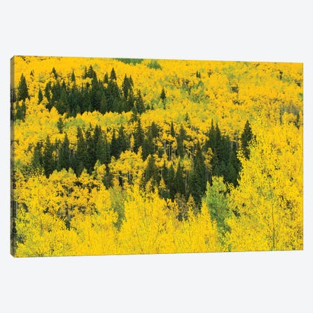Aspen Trees In A Forest, Maroon Bells, Maroon Creek Valley, Aspen, Pitkin County, Colorado, USA III Canvas Print #PIM14258} by Panoramic Images Canvas Wall Art