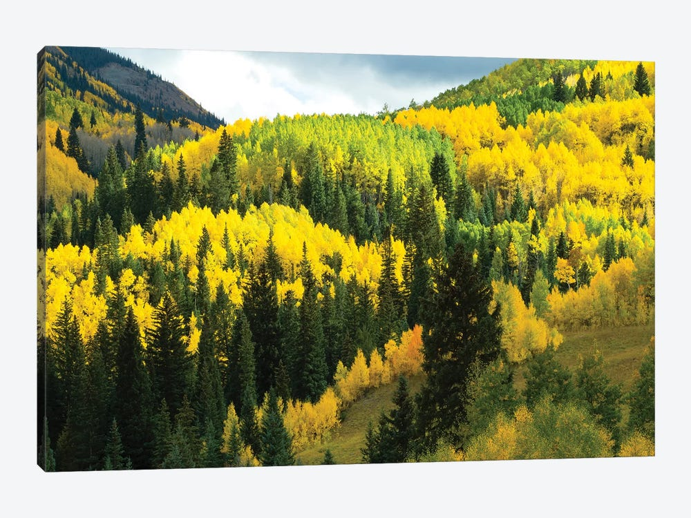 Aspen Trees In A Forest, Maroon Bells, Maroon Creek Valley, Aspen, Pitkin County, Colorado, USA IV by Panoramic Images 1-piece Art Print