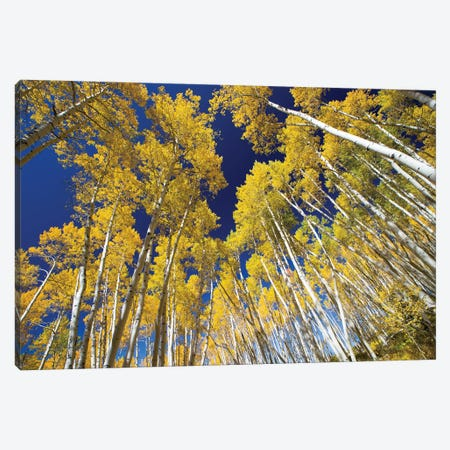 Aspen Trees In A Forest, Maroon Bells, Maroon Creek Valley, Aspen, Pitkin County, Colorado, USA VI Canvas Print #PIM14261} by Panoramic Images Canvas Print