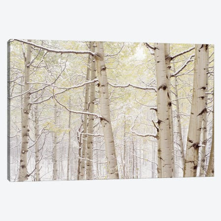 Autumn Aspens With Snow, Colorado, USA Canvas Print #PIM14264} by Panoramic Images Canvas Artwork