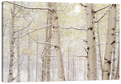 Autumn Aspens With Snow, Colorado, USA Canvas Art Print