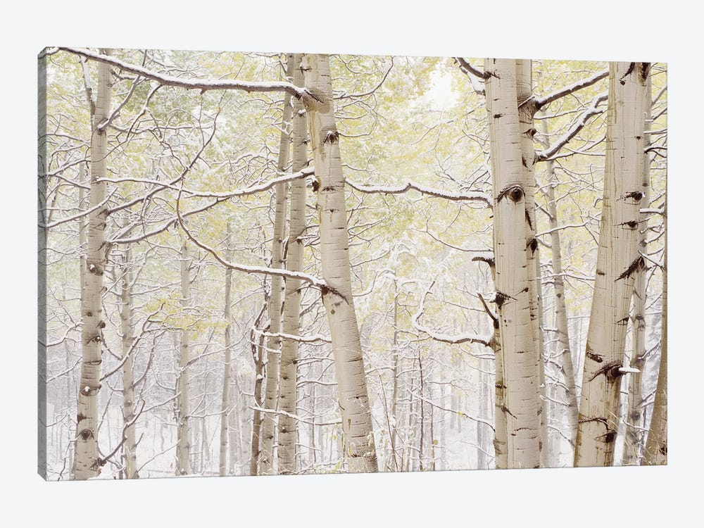 Autumn Aspens With Snow, Colorado, USA by Panoramic Images 1-piece Art Print