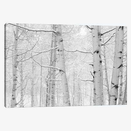 Autumn Aspens With Snow, Colorado, USA (Black And White) I Canvas Print #PIM14265} by Panoramic Images Canvas Wall Art