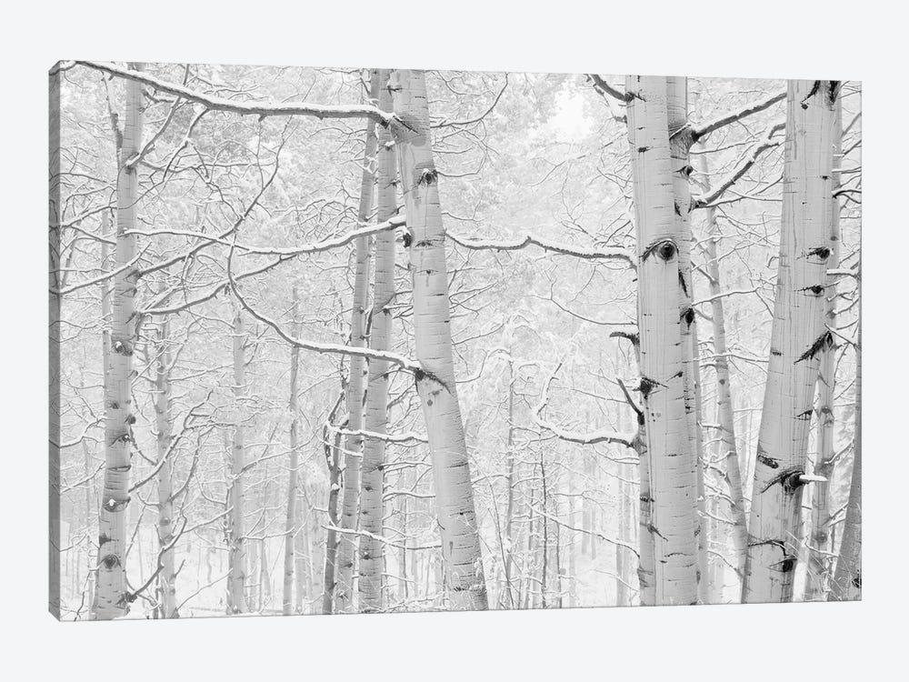 Autumn Aspens With Snow, Colorado, USA (Black And White) I by Panoramic Images 1-piece Canvas Wall Art