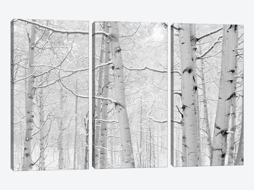 Autumn Aspens With Snow, Colorado, USA (Black And White) I by Panoramic Images 3-piece Canvas Artwork