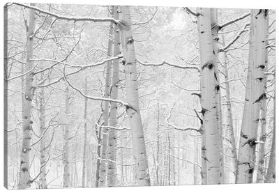 Autumn Aspens With Snow, Colorado, USA (Black And White) I Canvas Art Print
