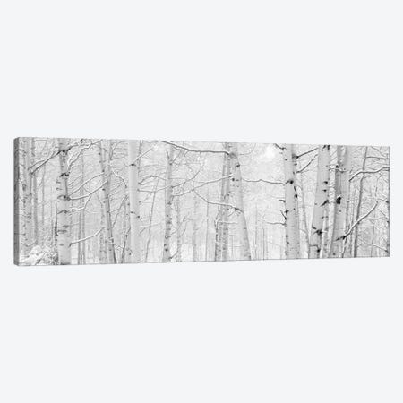 Autumn Aspens With Snow, Colorado, USA (Black And White) II Canvas Print #PIM14266} by Panoramic Images Canvas Wall Art