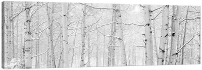 Autumn Aspens With Snow, Colorado, USA (Black And White) II Canvas Art Print