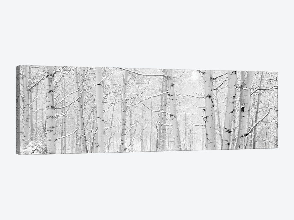 Autumn Aspens With Snow, Colorado, USA (Black And White) II by Panoramic Images 1-piece Art Print