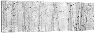 Autumn Aspens With Snow, Colorado, USA (Black And White) II Canvas Art Print