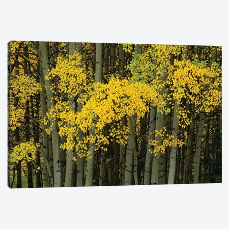 Autumn Trees In A Forest, Maroon Bells, Maroon Creek Valley, Aspen, Pitkin County, Colorado, USA Canvas Print #PIM14267} by Panoramic Images Canvas Wall Art