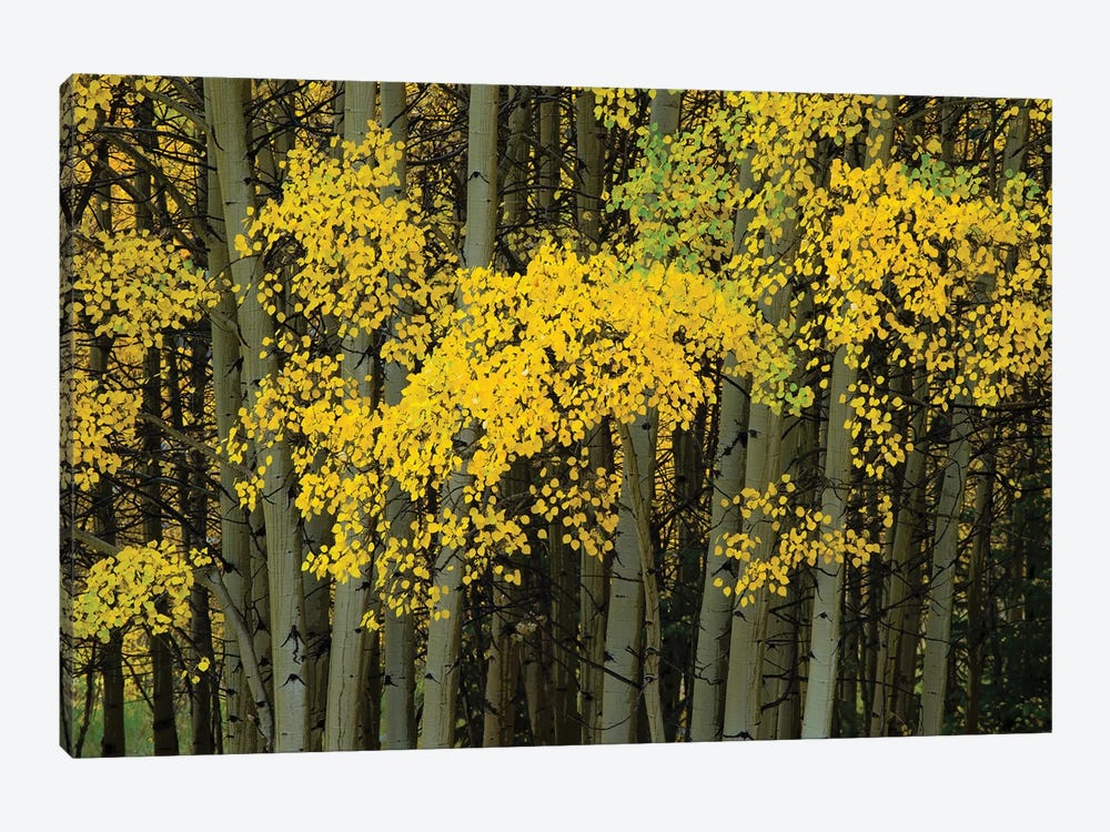 Autumn Trees In A Forest, Maroon Bells, Maroon Creek Valley, Aspen, Pitkin County, Colorado, USA by Panoramic Images 1-piece Canvas Art