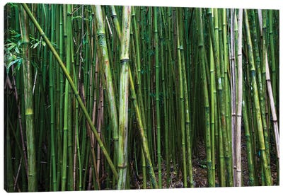 Bamboo Trees, Maui, Hawaii, USA I Canvas Art Print