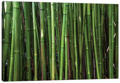Bamboo Trees, Maui, Hawaii, USA II Canvas Art Print