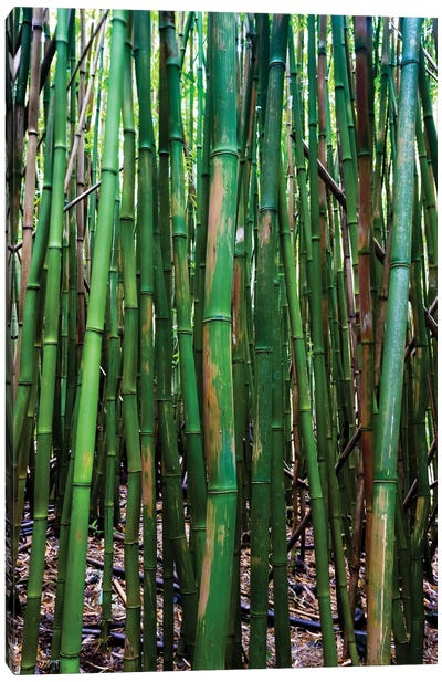 Bamboo Trees, Maui, Hawaii, USA III Canvas Art Print