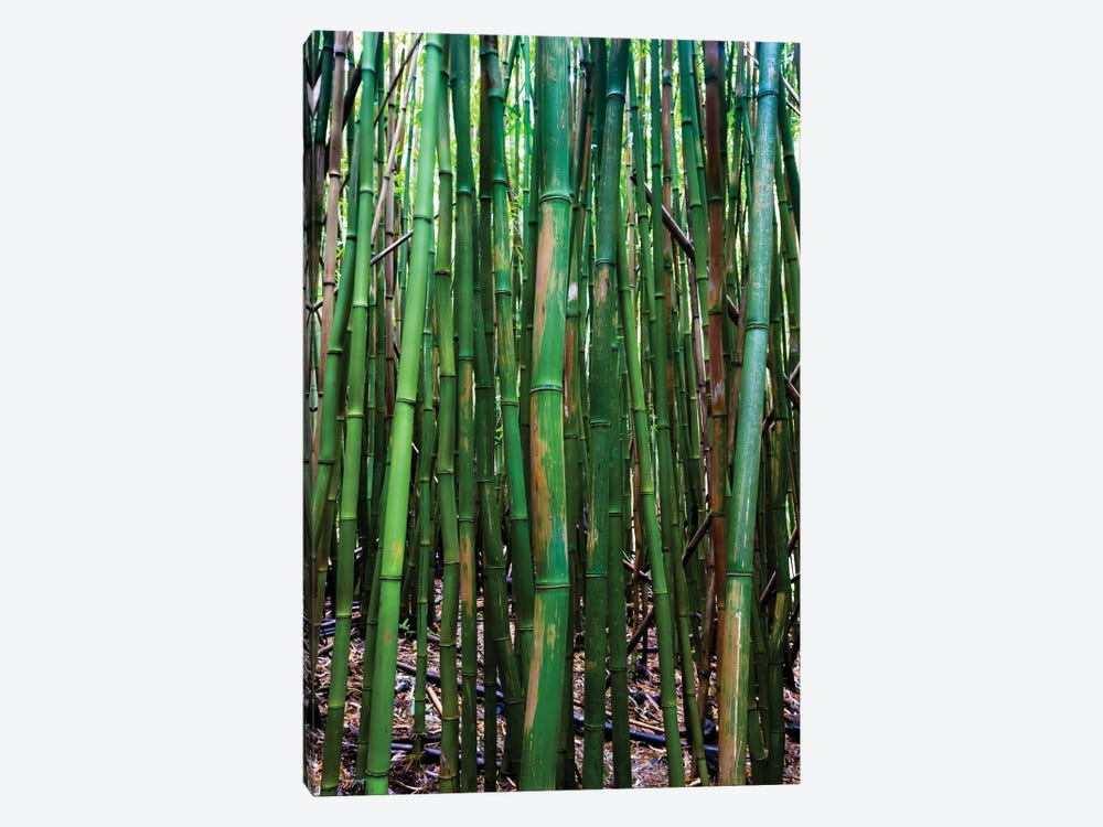 Bamboo Trees, Maui, Hawaii, USA III by Panoramic Images 1-piece Canvas Art Print