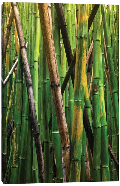 Bamboo Trees, Maui, Hawaii, USA IV Canvas Art Print